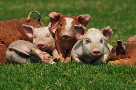 husbandry: beautiful colorful pigs on the grass