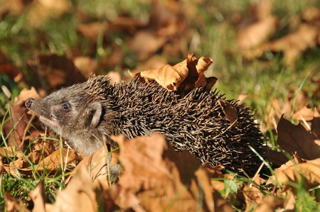 Forest Hedgehog prepares for the winter Stock Photo - 10794127