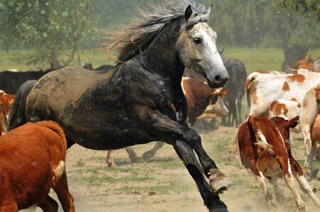 galloping stallion pasture photo