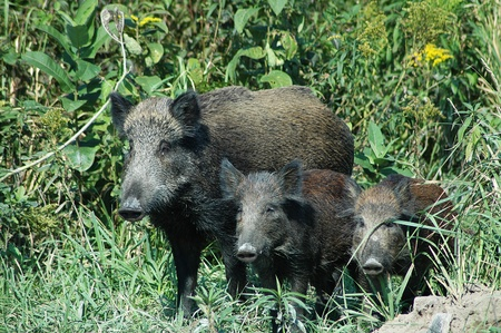 wild pigs with piglets