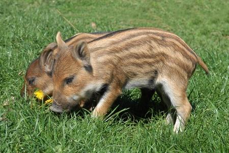 pig wild pigs
