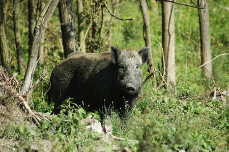 eber: Wildschwein Lizenzfreie Bilder