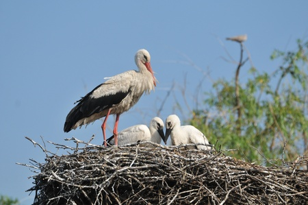 White Stork on the nest with young
