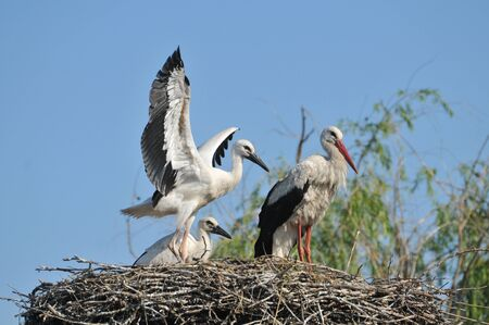 White Stork on the nest with young photo