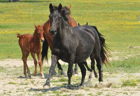 stock breeding: galloping horse pastures