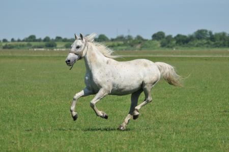 beautiful stallion galloping field