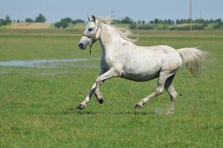 lipizzaner: beautiful stallion galloping field