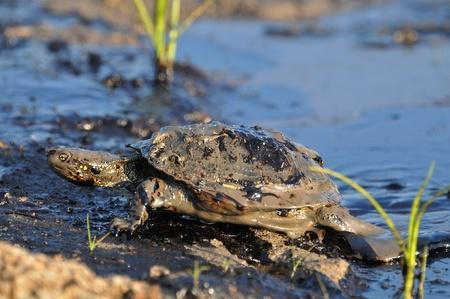 turtles in oil