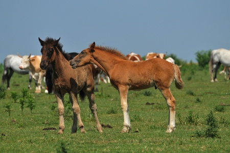 foals in pasture Stock Photo - 10833136