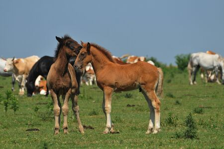 foals in pasture Stock Photo - 10833135