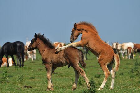 foals in pasture Stock Photo - 10833133