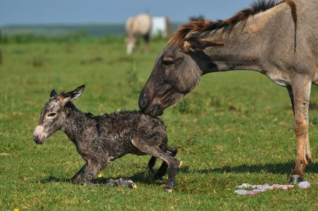 birth of the little donkey