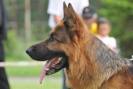 German Shepherd portrait Banque d'images
