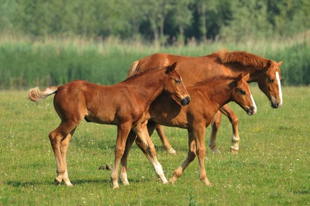 two foals running around the meadow