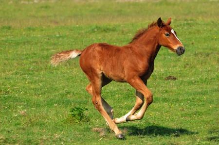 foal in the meadow