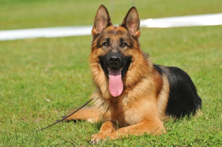 German Shepherd, dog on the grass Banque d'images