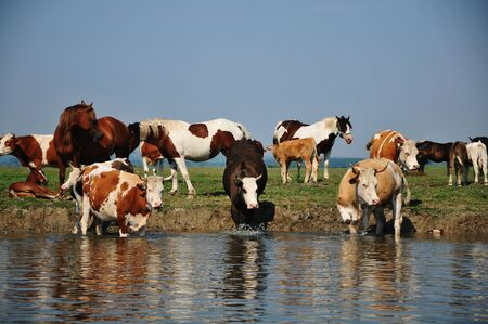 Horses and cows at watering hole photo