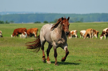 stallion in a meadow Stock Photo - 10897953