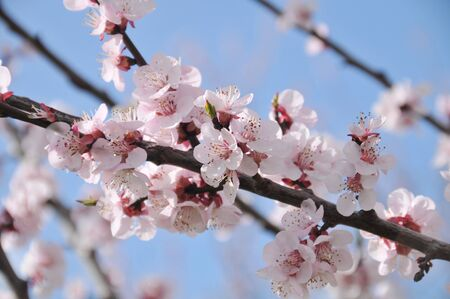 apricot flower photo