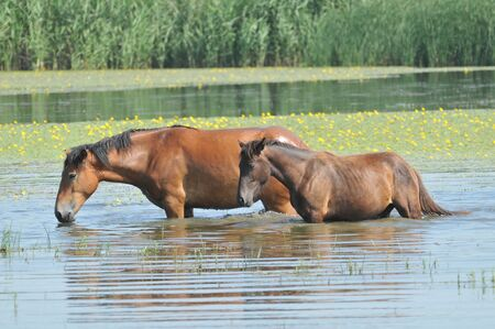 horses in the water photo