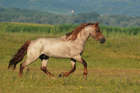 stallion running around the field