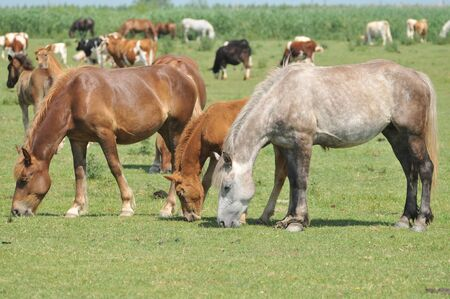 horses on the meadow photo