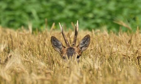 buck on the grass