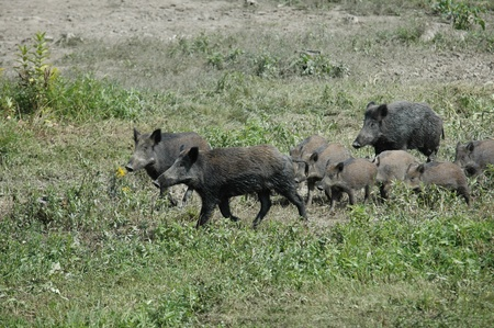 wild boar Stock Photo - 10969001