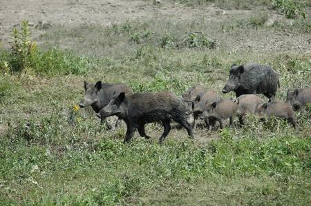 wild boar Stock Photo - 10969001
