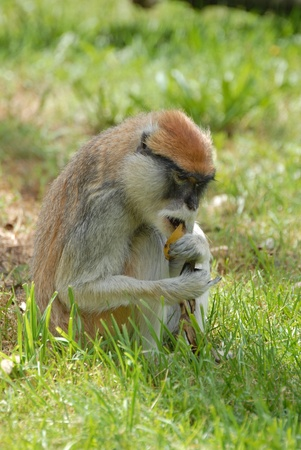 Monkey on the grass photo