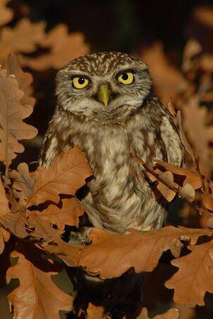 Little Owl Banque d'images