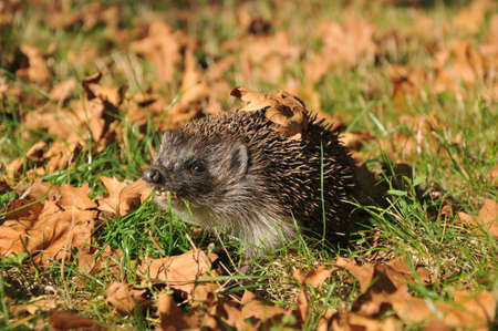 forest hedgehog collects leaves for the winter Stock Photo - 11082918