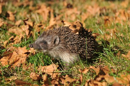 forest hedgehog collects leaves for the winter Stock Photo - 11082924