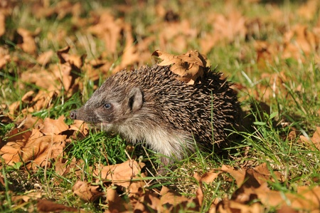 forest hedgehog collects leaves for the winter Stock Photo - 11082923
