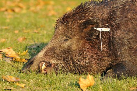 hunted: hunted wild pigs