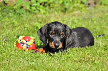 played: dachshund little units played with a ball