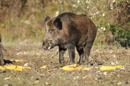 wild boar Stock Photo - 11180995