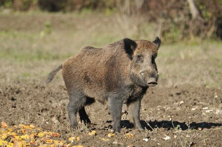 wild boar Stock Photo - 11181023