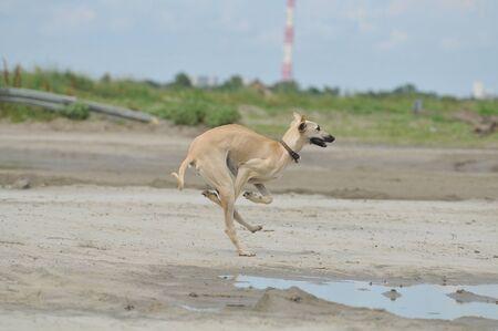 Greyhound, Saluki hound photo