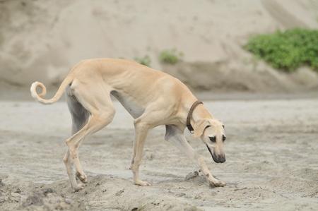 Greyhound, Saluki hound