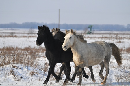 horses in the snow Banque d'images