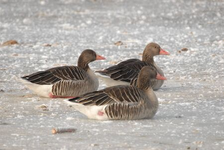 geese on ice photo