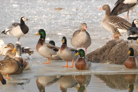 Ducks and swans on ice photo