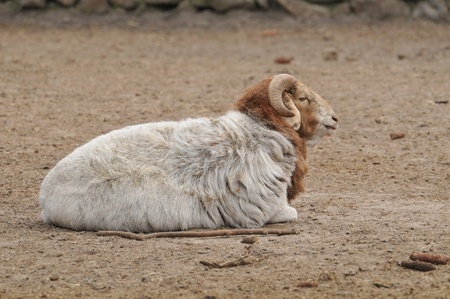 ram with large horns photo