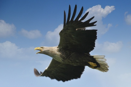 eagle flying: white-tailed eagle in the blue sky