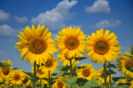 sunflower in the blue sky Stock Photo - 11348785