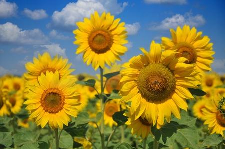 sunflower in the blue sky