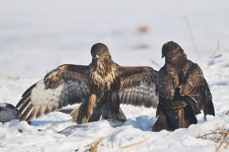 eagles fight photo