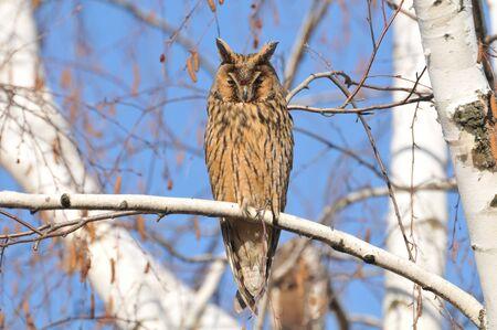 bird eating raptors: Eagle Owl