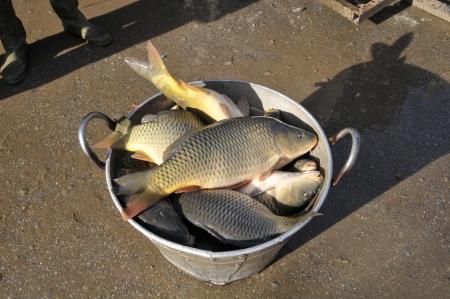 Fresh fish a carp, close up Banque d'images